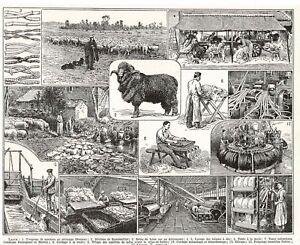 1910 Art Print Impression 108 ans Laine Troupeau Moutons Mérinos de Ramboullet