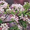 4 Motivservietten Servietten Napkins Tovaglioli Blütenzweig Kirschblüten (861)