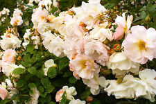 'Paul's Himalayan Musk' Rambling Rose, With Double Pale Pink Flowers