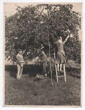 PHOTO ANCIENNE Cueillette de pommes Pommier 1944 Arbre fruitier Panier Échelle
