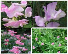 Pink Sweet Pea Vine    Annual Flowered Vine  25 Seeds