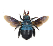 Real Blue Bee xylocopa caerulea Fast From Usa Shipping! Spread Bumblebee