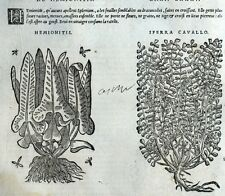 Plantas Asplenium Hemionitis Botánica Matthioli Mattioli Matthiole Dioscorides