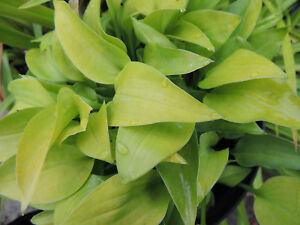 HOSTA GOLD EDGER - Hardy Perennial - Well established plant grown in 11cm. pot.