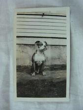 Vintage Photo  Boston Terrier Dog 799001