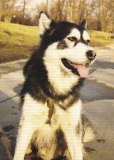 Polarhund * Schlittenhund * Husky * Malamute *  Dog  * Postkarte  Postcard  # 25