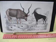 Vintage Print,ANTELOPE,Goldsmiths Animated Nature,1855