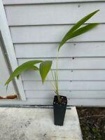 Carpoxylon macrospermum Palm Beautiful Tropical Rare Specimen!!
