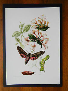 VINTAGE PRINT OF PRIVET HAWK MOTH EDUCATIONAL SCHOOL CHART INSECTS 1961