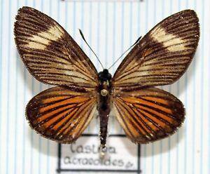 Schmetterlinge - butterflies - Sammlerexemplare gespannt - CASTNIIDAE No.14