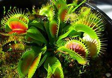 100pcs SEEDS Dionaea Muscipula Giant Clip Venus Flytrap Seeds Bonsai Plants