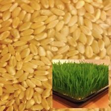 Organic Wheat Grass Seeds 2.5kg Sprouting / Australian Grown & Bio-Dynamic Cert