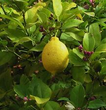Meyer Semi Dwarf Lemon Tree  Make Your Own Lemonade Full Size Lemons