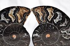 "RARE 1 in 100 BLACK Ammonite Cut Pair 99mm Deep Crystals LARGE 3.9"" 110myo n1401"