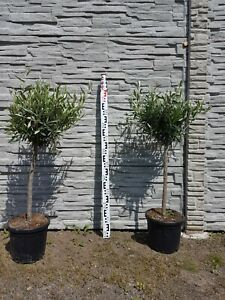 Olivenbaum Olea Europaea Gesamthöhe ca. 100 cm  Frosthart