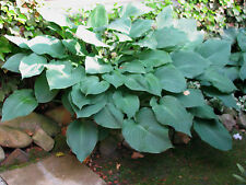 Funkie Hosta Halycon Schattenpflanze Sommerblüher