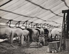 1940's Vintage 11x14 CIRCUS CARNIVAL Horses Eating Equestrian Animal Ringling