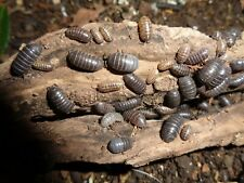 50 Wild Isopods Live Feeder/Tank Cleaner Clean Up Crew Pill Sow Bug Rolly Poly