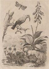 Daylily. Hepatica/liverwort. Hepialidae (Swift moth). Hawaiian honeycreeper 1834