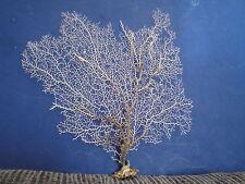"""11.5""""x 11.6""""Large Natural Gargonia White Sea Fan Seashells Reef Coral"""