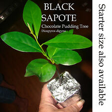 ~BLACK SAPOTE~ Chocolate Pudding Tree Diospyros Digyna BIGGER NICER Potd Plant