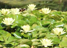 Düngekugel Infoblatt Naturfilter Weiße Mini-Seerose Virginalis Bonsai Knolle