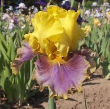 "1 Tall Bearded Iris ""In Living Color"" - Fragrant - Large Rhizome, size #1"