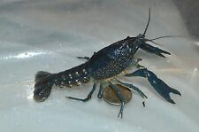 5  BLUE  SELF CLONING BLUE CRAYFISH  ~ Live Fish ~ Live Blue Invertebrates