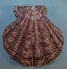 PECTEN FRAGOSUS 109.86mm BEAUTIFUL KNOBBY SPECIMEN off Port Canaveral, Florida
