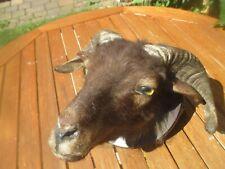 Inciso trofei scudo in marrone per Mufflon muffel arieti trofeo Brett NUOVO