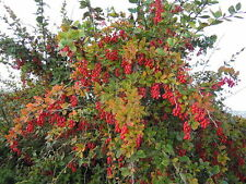 BERBERIS VULGARIS 20 semi seeds Crespino European barberry