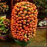 Mandarin Orange Dwarf Bonsai For Home And Street Fruit Tree 10 PCS Seeds NEW W