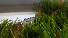 4 Live Amano Shrimps Algae Eating Shrimp for Freshwater Tank