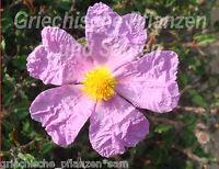 Zistrose pink * CISTUS INCANUS * 50 Samen Heilpflanze mediterrane Kübelpflanze