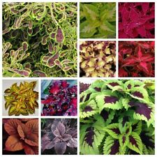 100 Coleus Flower Seeds Plectranthus 10 Kinds Perennial Garden and Potted Plants