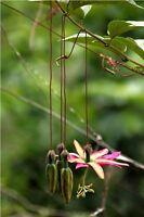 Passiflora antioquiensis 10 Fresh Seeds