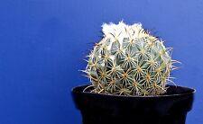 CORYPHANTHA GLADIISPINA v14 Planta Planta Cactus planta Suculenta Jugosa