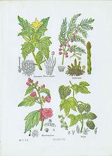 c. 1900 Print - Color Medicinal Plants incl Asparagus