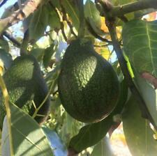 12 Fuerte Avocado Seeds | Usa Grown | Non Gmo, naturally grown