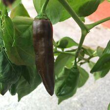 Fatalii brown braune Chilli megascharfe Chili aus Afrika Fatali choco
