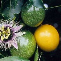 10 Fresh Thai Yellow Passion Fruit Seeds PASSIFLORA FLAVICARPA Sweet Tropical