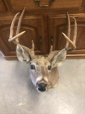 Colorado whitetail deer shoulder mount ~vintage~