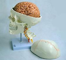 Skull Model w sutures cervical vertebrae nerves arteries 8 parts brain Skeleton