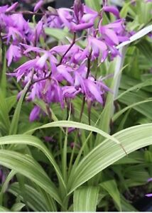 Bletilla Striata Variegata Albostriata Pink Hardy Ground Orchid 3 Bulbs USA