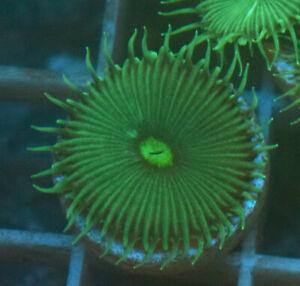 Green Implosion, 1 head Soft coral frag WYSIWYG