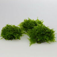 2x TAIWAN Moss STONE PAD- Live aquarium  tank water plants low light tropical