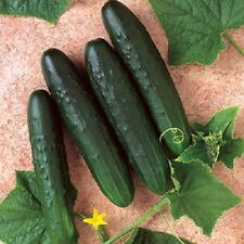 Cucumber Seeds Slicer Bush Crop 100 Seeds Garden Seeds Container Cucumber