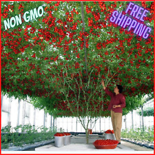 Seeds Tomato Tree Vegatable 30 kg Bush NON-GMO Organic Heirloom