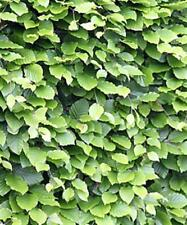30 Common beech - Fagus Sylvatica - Hedging - 30cm - Plant Anytime