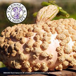 Rare Winter squash Brodé Galeux d'Eysines 4 seeds UK SELLER